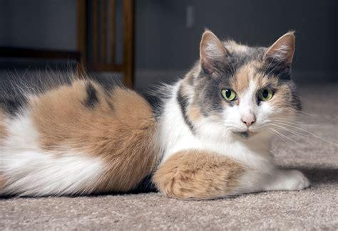Calico Cats Guide Including A Quiz Thecatsite