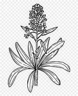 Mustard Plant Drawing Coloring Sketch Clipart Template sketch template