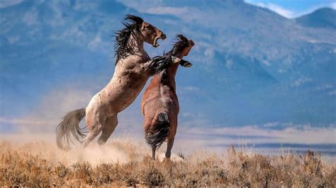 horses america did states north come wild horse