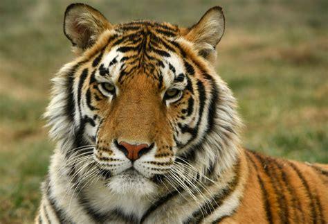 tiger king animal tigers zoo joe exotic coronavirus wild april york sanctuary colorado animals tested positive