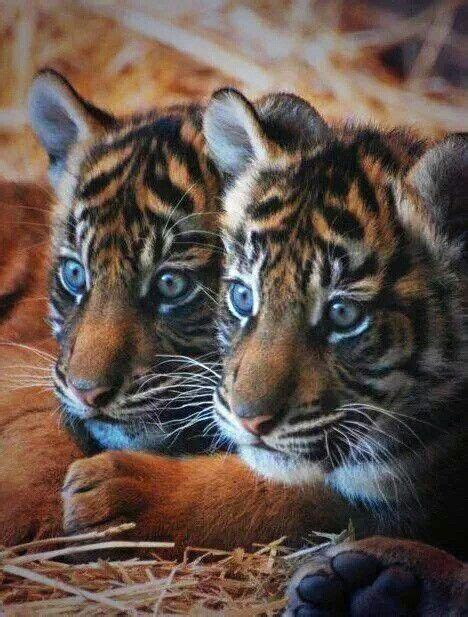 Best Images About Animals Tiger Tijger Pinterest