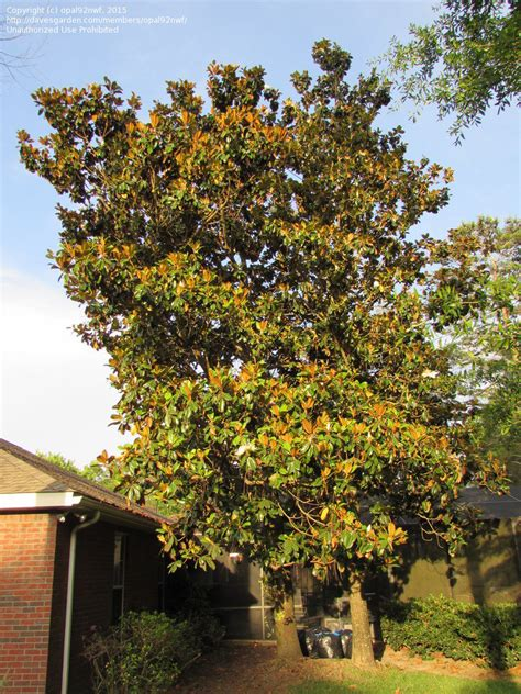 types of magnolia trees in florida types of magnolia trees in florida 28 images types of magnolias the home depot community