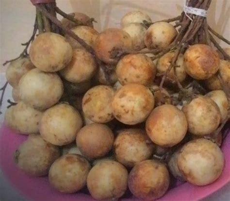 candlenut aleurites moluccana seeds