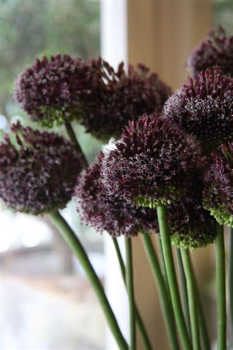 17 best images about allium on gardens