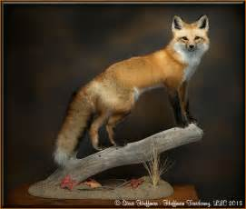 Red Fox Taxidermy Mounts