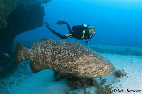 goliath atlantic grouper giant fish species ocean groupers human chandler wilson mag eats golaith fishes xray underwater types ray diver