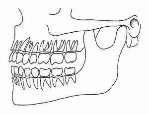 Human Teeth Diagram Side View