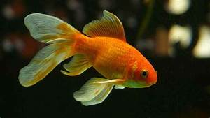 Why Releasing Goldfish Into The Wild Is A Bad Idea