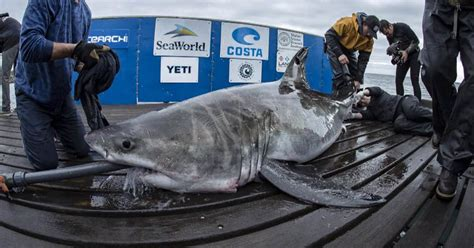 cluster  great white sharks reported  north