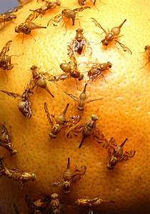 Flies | Free Stock Photo | Mexican fruit flies laying eggs ...