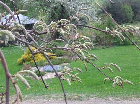 wisteria buds wisteria tale