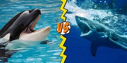 Shark Whale Vs Killer Facts