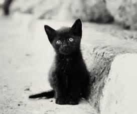 Cute Black Cat Kitten