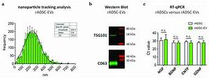 Characterization Of Rat Adipose Tissue Derived Stem Cell