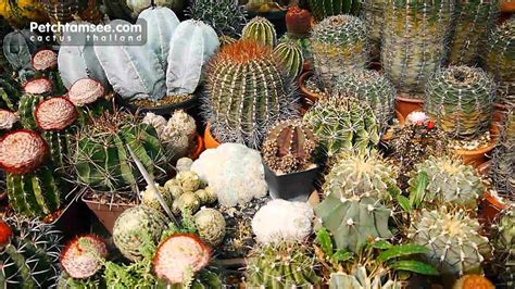 Cactus Thailand Petchtamsee 02 HD - YouTube
