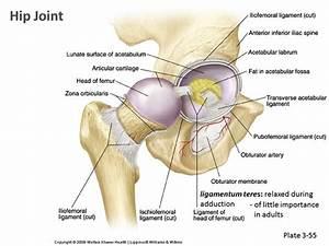 Human Anatomy  U0026 Physiology Of Hip Joint