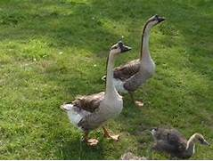 Urban Ecology: Urban Farming, Part III: Urban Ducks & Geese