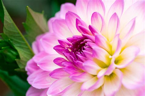 Dahlia Wallpapers Hd Download HD Wallpapers Download Free Images Wallpaper [1000image.com]