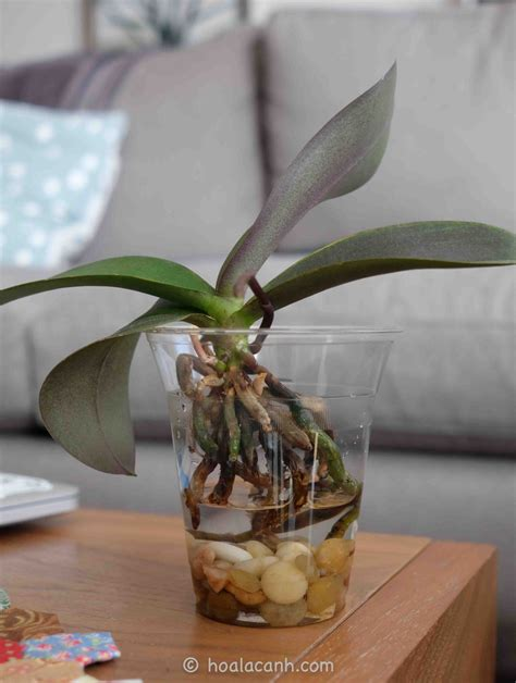 transplanting phalaenopsis orchids i started growing orchids particularly phalaenopsis orchids in water about a year ago after