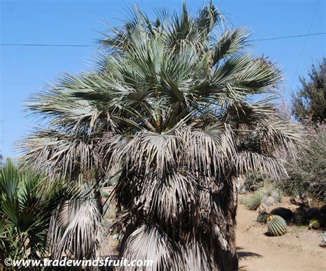 mexican fan palm care mexican blue fan palm www imgkid com the image kid has it