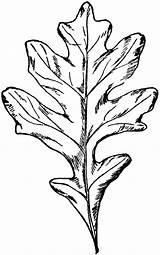 Oak Leaf Printable Stencil Coloring Popular Outline sketch template