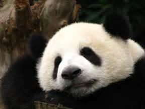 パンダ:中国 成都 ( パンダ ) - 世界 ...