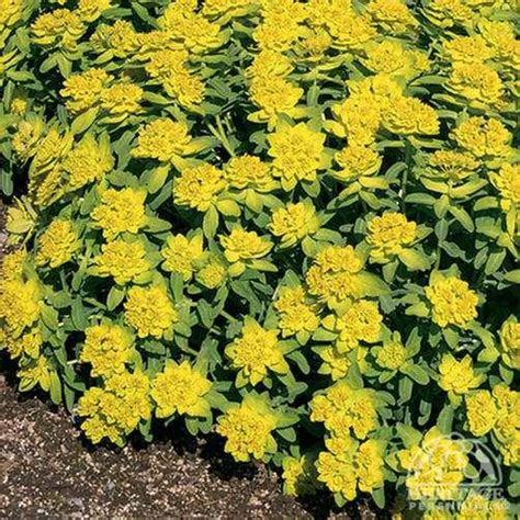 euphorbia perennial plant profile for euphorbia polychroma cushion spurge perennial