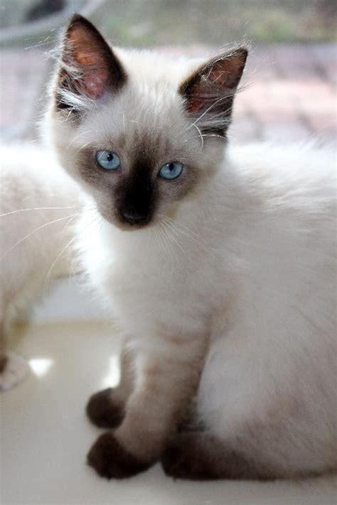 Hoshi The Siamese  Persian Mix Kitten's Web Page