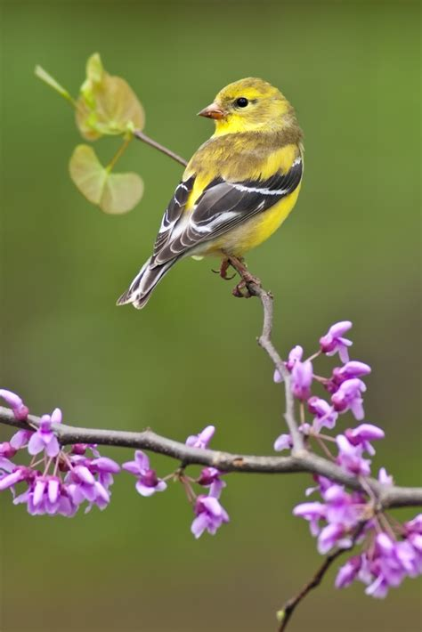 american goldfinch backyard birds the bird food store