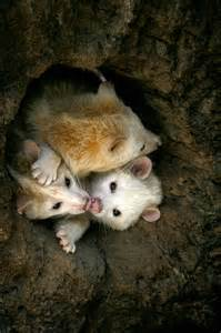 Opossum Family Animals