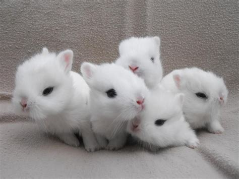 dwarf hotot rabbit facts personality care sheet