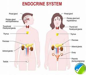 Why Is The Endocrine System Important To The Human Body
