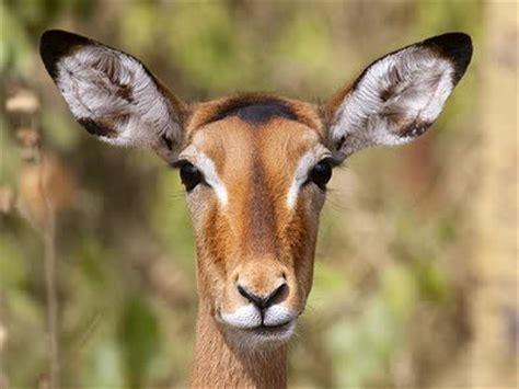 antelope head  jigsaw puzzle jigzonecom