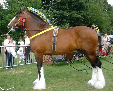 shire horse horses draft stallion breeds hd animals pretty information clydesdale farm gypsy kb cardinal wallpapers england cute team showing