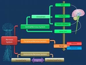Educative Diagrams  Nervous System Diagram