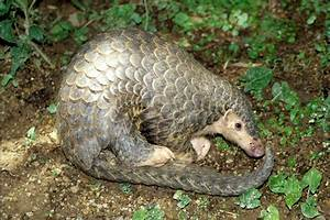 EDGE Blog » Plight of the pangolin: all eight species to ...