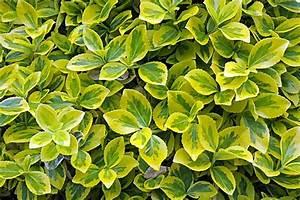 Immergrüne Hecke Schnellwachsend : bodendecker kriechspindel 2 ~ Lizthompson.info Haus und Dekorationen