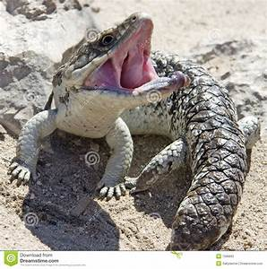Blue Tongue Lizard With Mouth Open Stock Photography ...