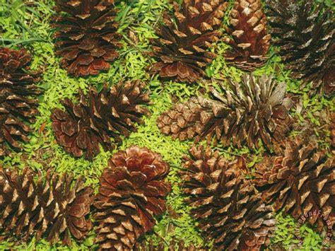 Raymond Gehman Giant Longleaf Pine Cones painting - Giant