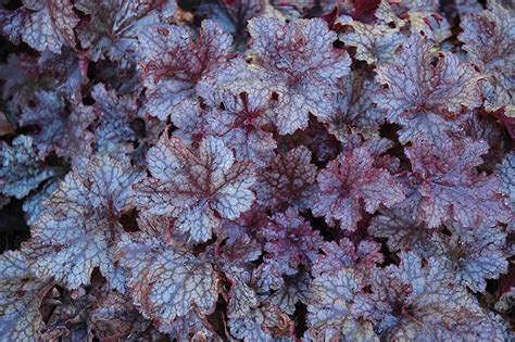 plum pudding coral bells heuchera plum pudding