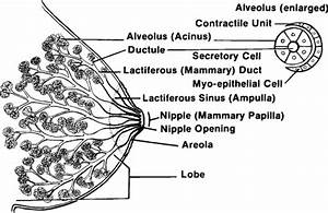Part Ii  The Anatomy And Psychophysiology Of Lactation