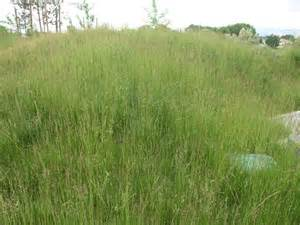 Tall Fescue Mix Grass