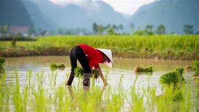 Vietnam 4k Farmer Rice Wallpapers Uhd Nature