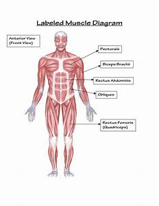 Labeled Muscle Diagram  U2014 Untpikapps