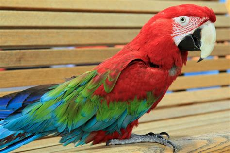 Ruby Macaw Maxwell Nears Middle Age