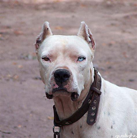 top   dangerous dogs world top  list