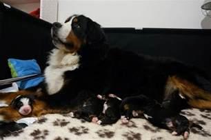 Breeding Bernese Mountain Dog