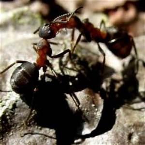 Was Gegen Ameisen : ameisen hausmittel ~ Whattoseeinmadrid.com Haus und Dekorationen