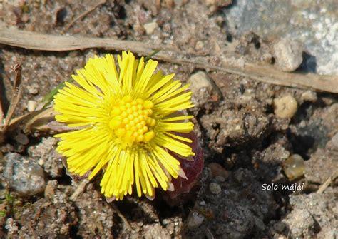 Solo mājai: Pavasara ziedi