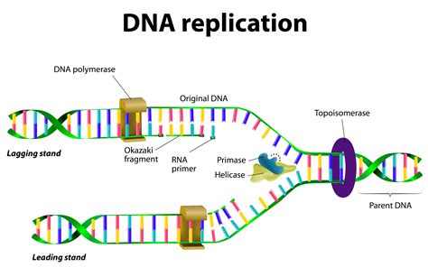 Diagram Of Dna Replication Process Of Protein